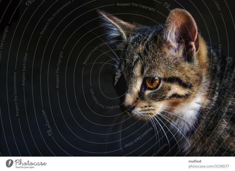 Schattenwesen Tier Haustier Katze 1 Tierjunges beobachten braun grau schwarz weiß Farbfoto Innenaufnahme Menschenleer Textfreiraum links Tag Licht