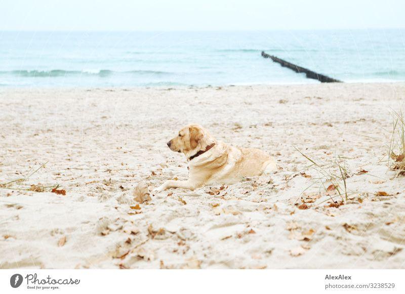 Blonder Labrador liegt am Ostseestrand und schaut aufs Meer Wohlgefühl Zufriedenheit Erholung Ausflug Abenteuer Natur Landschaft Sand Wasser Herbst