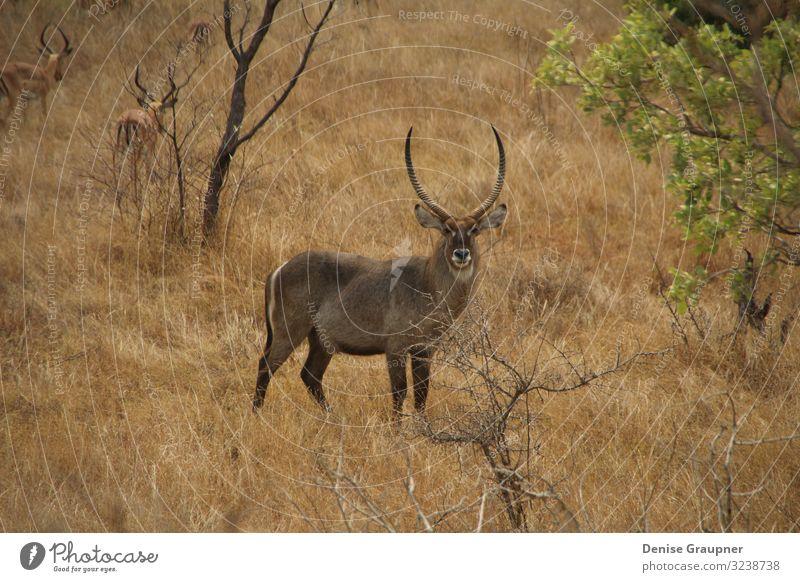 Wild Waterbucks in South Africa Ferien & Urlaub & Reisen Safari Umwelt Natur Landschaft Klima Klimawandel Park Tier Wildtier africa wildlife south waterbuck