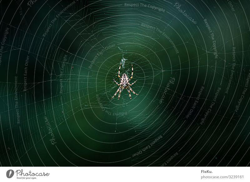 Spinne im Netz Umwelt Natur Tier Wildtier 1 Ekel Spinnennetz Insekt rund natürlich Angst Farbfoto Außenaufnahme Detailaufnahme Menschenleer Textfreiraum links
