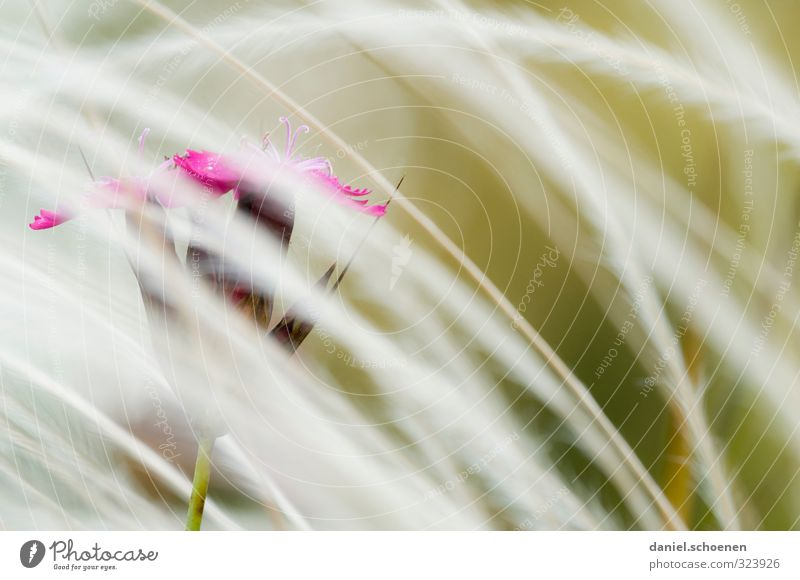 Blümchenbild Natur Pflanze rot Blume Gras Blüte hell rosa
