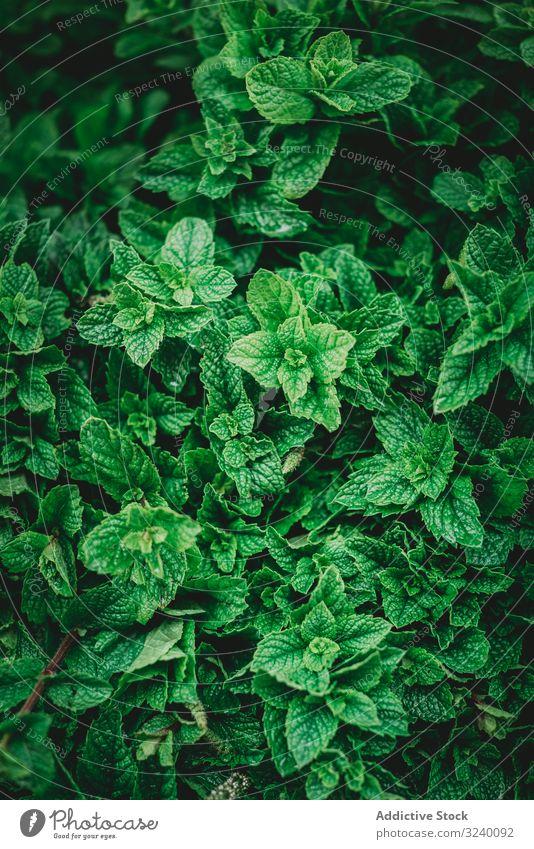 Blätter des Minzestrauchs im Garten Blatt Buchse grün Aroma Gewürz Pflanze Wachstum Marrakesch Marokko Kraut natürlich organisch roh reif üppig (Wuchs) Grün