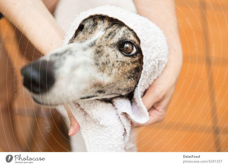 Hund mit Handtuch von vorne gesehen Kosmetik Frau Erwachsene Freundschaft Tier Haustier klein lang lustig nass niedlich Sauberkeit weich braun weiß reizvoll