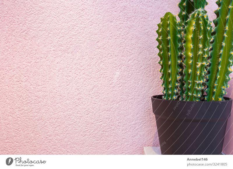 Grüner Kaktus auf dem Hintergrund einer hellrosa Wand. Topf Stil Design Freude Sommer Garten Dekoration & Verzierung Kunst Natur Landschaft Pflanze Blume Mode