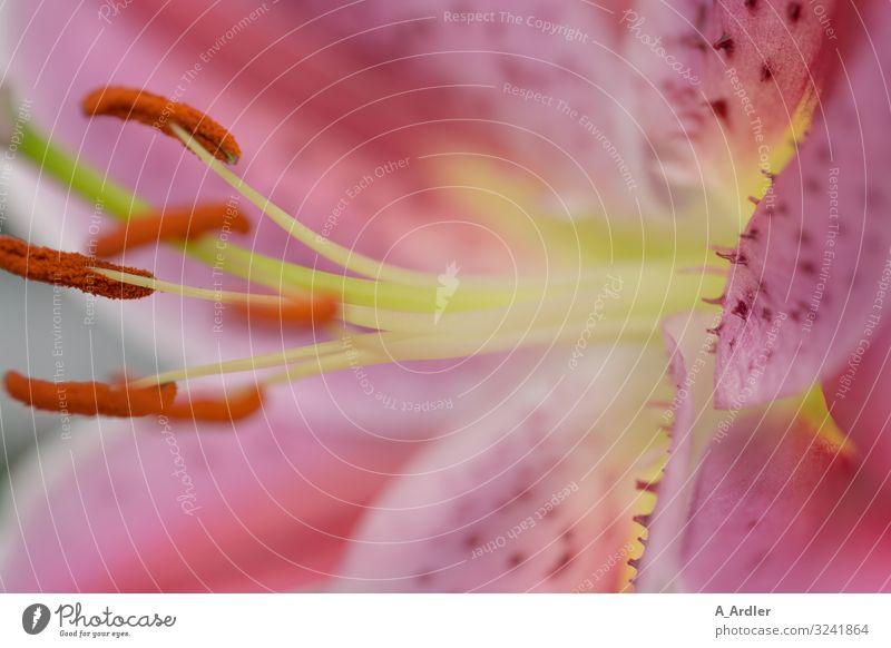 Makro einer Lilienblüte (Lilium) elegant exotisch Natur Pflanze Blüte Liliengewächse ästhetisch außergewöhnlich schön mehrfarbig gelb grün violett rosa Leben