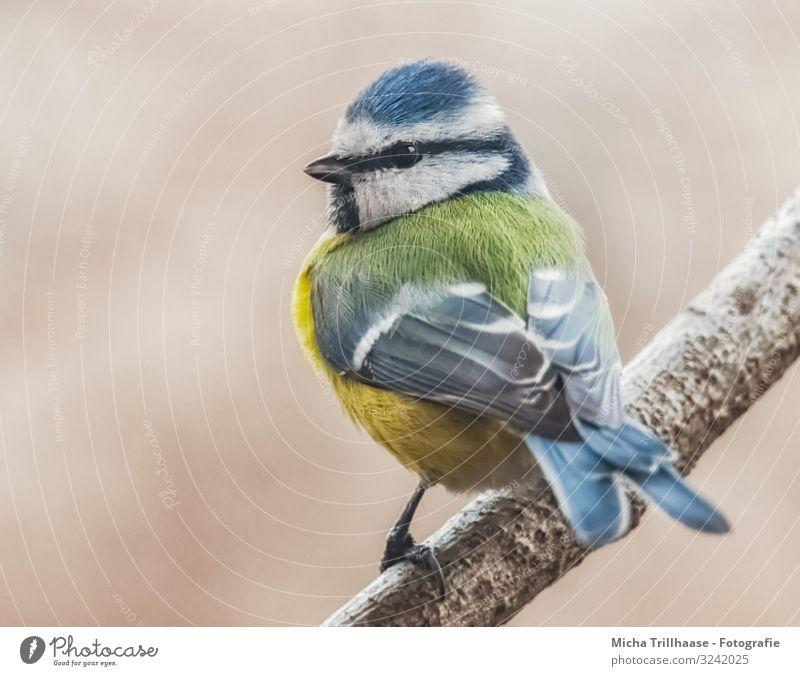 Blaumeise auf einem Ast Natur Tier Sonne Sonnenlicht Schönes Wetter Baum Wildtier Vogel Tiergesicht Flügel Krallen Meisen Feder gefiedert Kopf Schnabel Auge 1