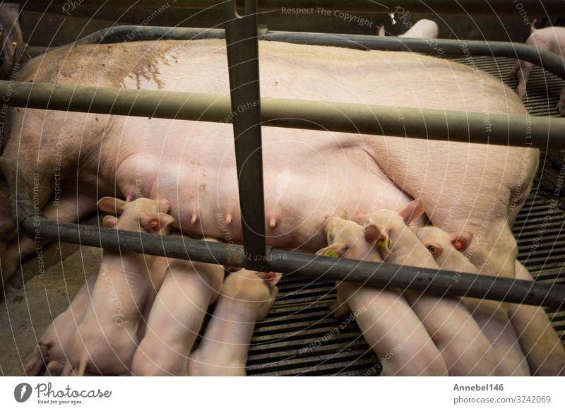 Mutter Schwein im Käfig mit ihren Ferkeln auf einem Zuchtbetrieb. Fleisch Fabrik Baby Erwachsene Menschengruppe Natur Tier füttern schlafen Wachstum dreckig