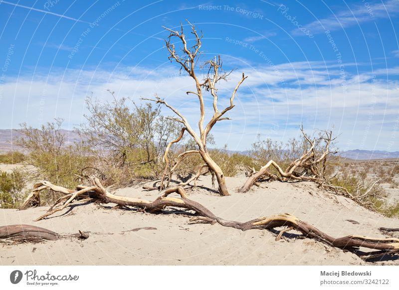 Verwelkte Bäume auf Sanddünen im Death Valley, USA. Ferien & Urlaub & Reisen Abenteuer Safari Expedition Sommer Sonne Umwelt Natur Landschaft Pflanze Himmel