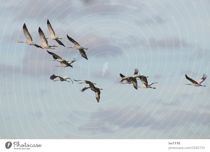 Kranichgruppe im Flug am Himmel mit Wolken Natur Tier Luft Sonnenlicht Herbst Schönes Wetter Wildtier Vogel Tiergruppe außergewöhnlich Unendlichkeit blau grau