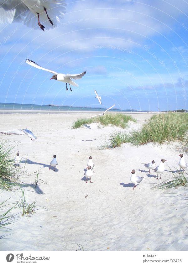 möwen (zum dritten und letzten) Himmel Meer Strand Sand Vogel fliegen frei Stranddüne Ostsee Möwe