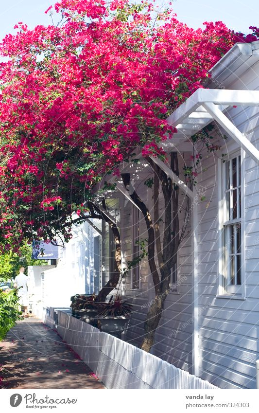 key west Ferien & Urlaub & Reisen Tourismus Sommer Sommerurlaub Pflanze Baum Blume Sträucher exotisch buganvilla Key West Florida Stars and Stripes Farbfoto