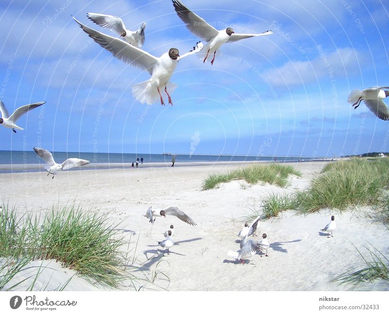 möwen 2 Himmel blau Strand Vogel fliegen frei Ostsee Möwe