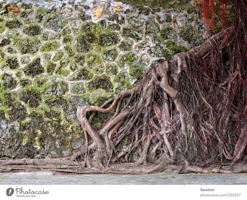 Platzmangel Natur Pflanze Urelemente Baum Wildpflanze braun gelb grün rot Wurzel alt bewachsen Wand netzartig Farbfoto mehrfarbig Außenaufnahme Detailaufnahme