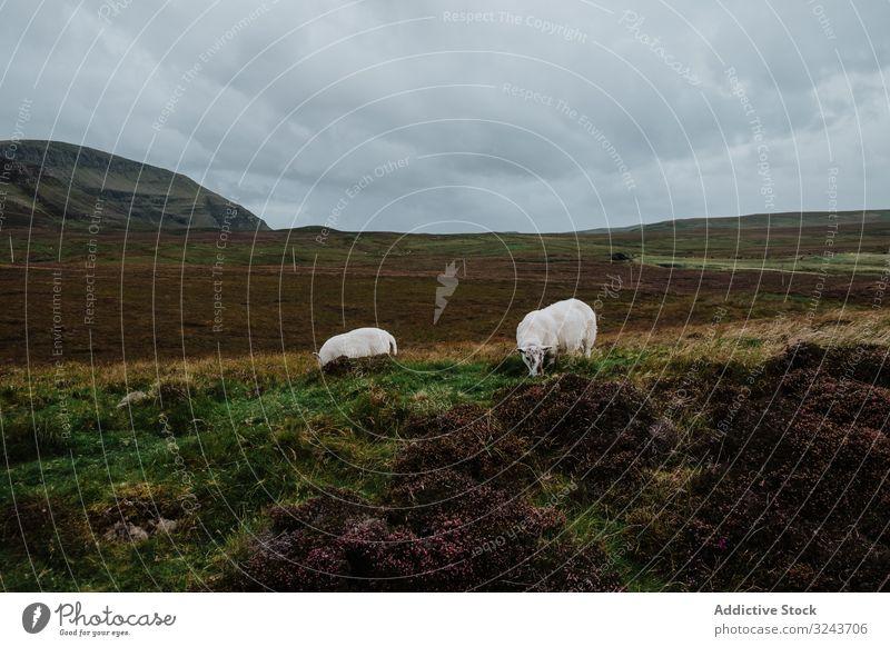 Kühe weiden an bewölktem Tag auf dem Herbstfeld Kuh Feld Landschaft Gras Natur Cloud bedeckt Tal Himmel Schottland vereinigtes königreich Rind heimisch Tier