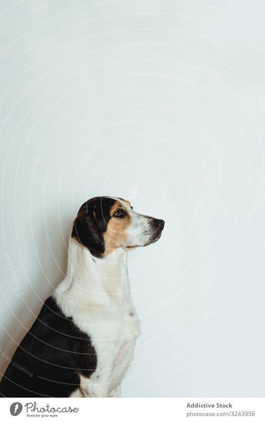 Ruhiger gefleckter Hund sitzt und schaut auf gehorsam Windstille nobel gepunktet Tier spielerisch bewegungslos lustig Reinrassig Haustier züchten Eckzahn