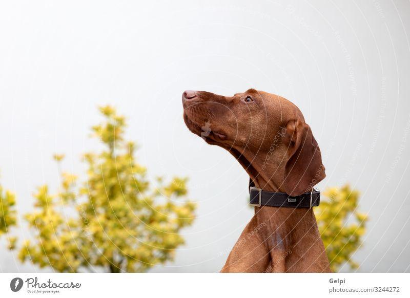 Ungarischer Kurzhaariger Hund Garten Tier Pelzmantel kurzhaarig Haustier außergewöhnlich groß klein rot weiß rein viele züchten Vizsla Jäger Reinrassig Welpe