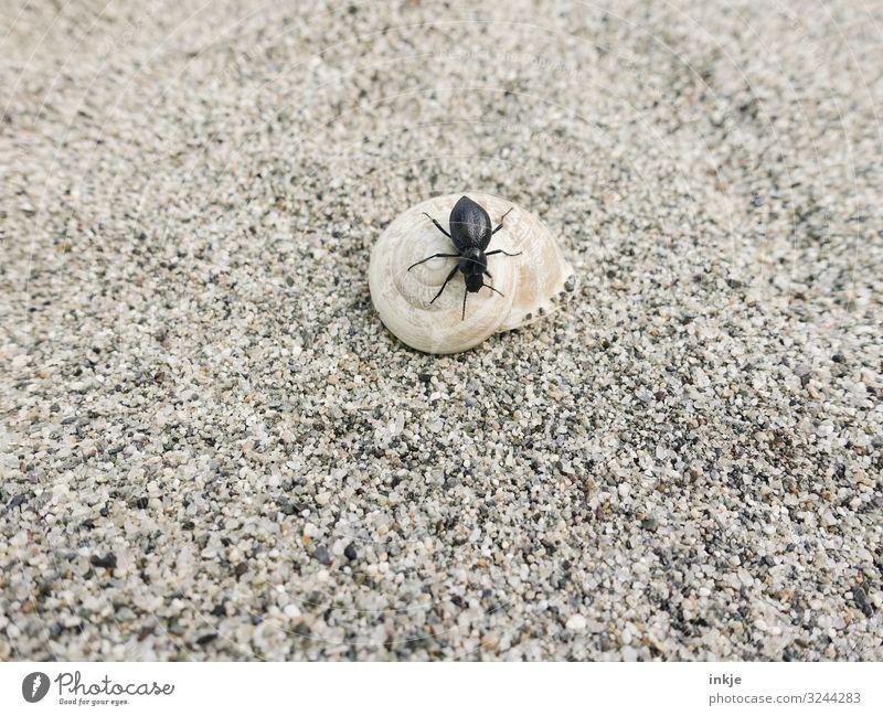 Korsicher Schwarzkäfer Tier Sand Sommer Sandstrand Strand Wildtier Käfer Schnecke Schneckenhaus 2 authentisch klein braun schwarz Größenunterschied krabbeln