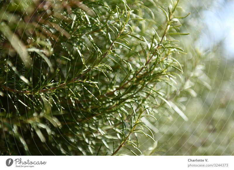 Rosmarin Lebensmittel Kräuter & Gewürze Ernährung Italienische Küche Umwelt Natur Pflanze Schönes Wetter Nutzpflanze Wildpflanze Duft Wachstum ästhetisch