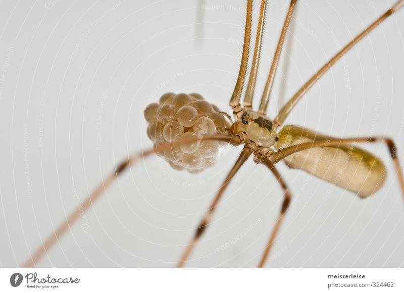 Zitterspinne mit Eiern Tier Spinne Mikrowelle Zettel Stofftiere Paket Erdöl Schloss Tod unschuldig Farbfoto Innenaufnahme