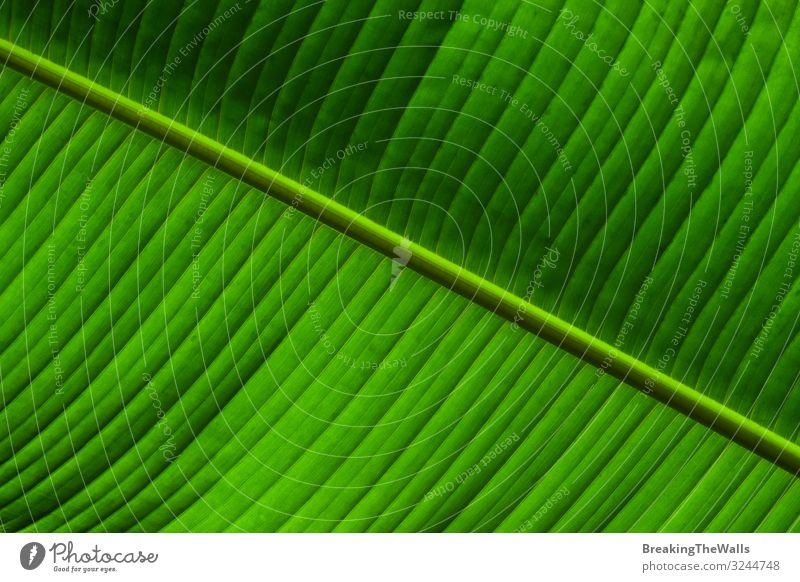 Nahaufnahme der Hintergrundtextur der grünen Palmblattadern Natur Pflanze Baum Blatt Grünpflanze exotisch frisch hell Farbe Venen Konsistenz extrem farbenfroh