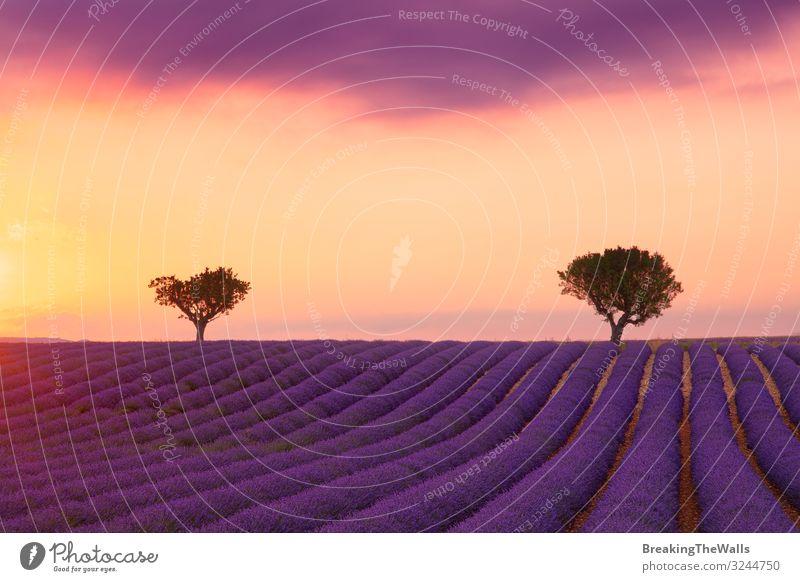 Violettes Lavendelfeld der Provence bei Sonnenuntergang ruhig Ferien & Urlaub & Reisen Natur Landschaft Pflanze Himmel Wolken Horizont Sommer Baum Blume Blüte