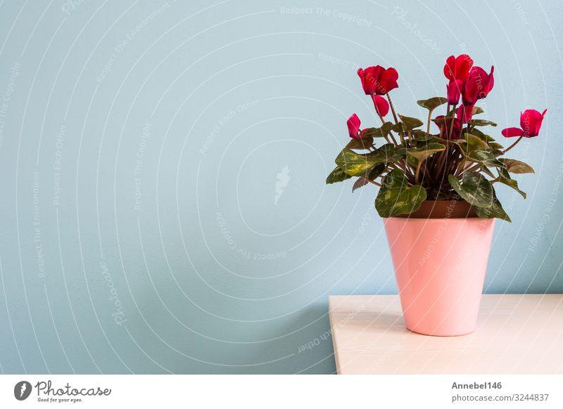 rote Blumen in rosa Blumentopf mit blauer Wand. Topf Design schön Haus Dekoration & Verzierung Natur Pflanze Blatt Blüte Blumenstrauß Wachstum frisch hell