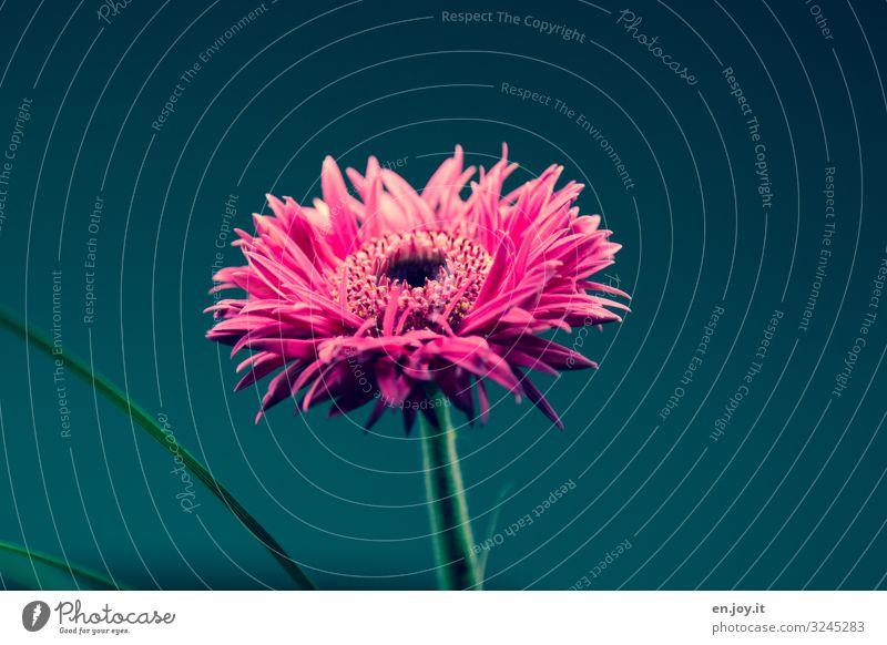 Blümchen Frühling Blume Blüte Blumenstrauß Blühend schön rosa Kitsch Lebensfreude Gerbera Farbfoto mehrfarbig Innenaufnahme Nahaufnahme Menschenleer
