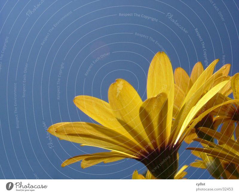 Blume vs. Himmel blau gelb
