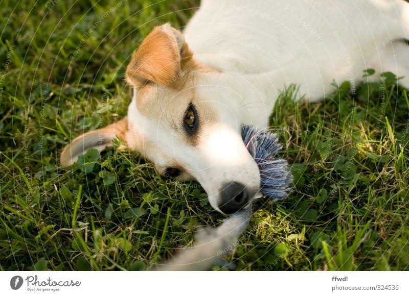 Camilla Freizeit & Hobby Spielen Garten Natur Gras Wiese Tier Haustier Hund Tiergesicht 1 Erholung liegen grün weiß Zufriedenheit Lebensfreude Geborgenheit