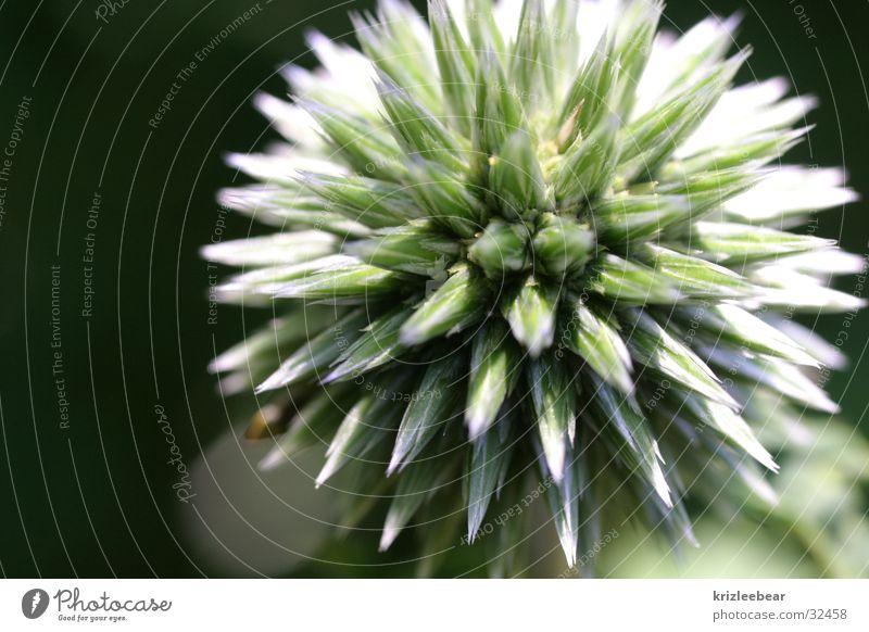 morgenstern Pflanze Stern (Symbol) Stachel