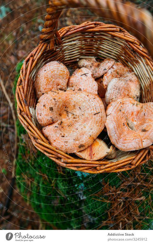Safranmilch-Becherpilz (lactarious deliciosus) in einem Korb Herbst Hintergrund braun lecker Diät essbar Lebensmittel frisch funghi Pilz Feinschmecker