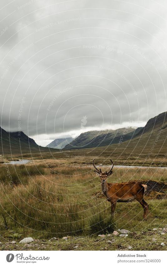 Schöner Hirsch auf schottischer Weide Hirsche Feld Schottland Hochland Berge u. Gebirge Hügel Wiese Gras wolkig Landschaft Schottisch Highlands Sommer Himmel