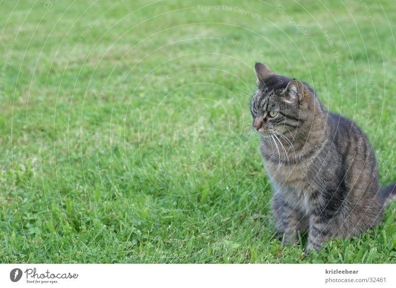 kaatze grün Wiese Katze weich Fell kuschlig Quaste