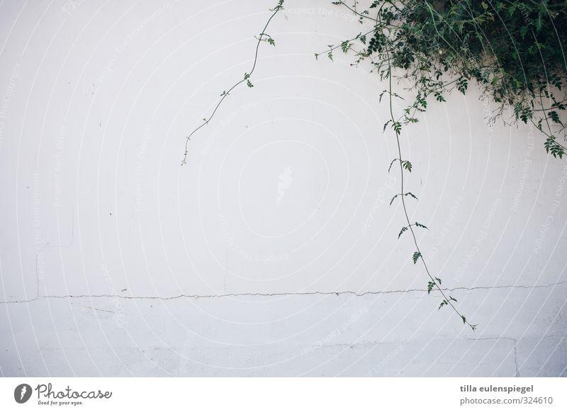 Wucherung exotisch Umwelt Pflanze Sträucher Blatt Grünpflanze Menschenleer Mauer Wand Fassade Stein Beton Blühend hängen Wachstum alt natürlich trocken grün
