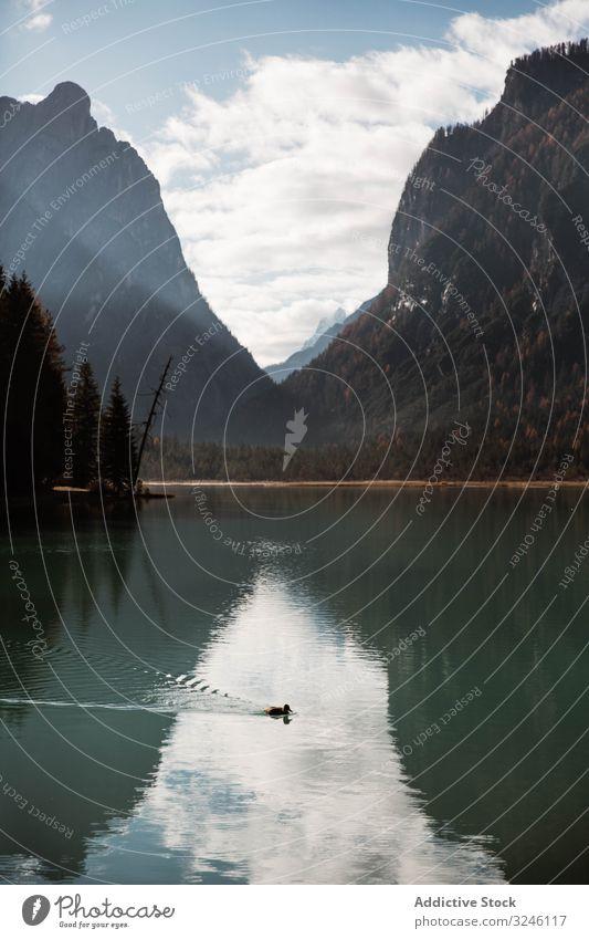 Schwarze Ente auf einem See in den Bergen Vogel Berge u. Gebirge Tal Dolomiten Wasser gefiedert schwarz einsam Italien Hügel tirol Teich Europa Tierwelt Wald