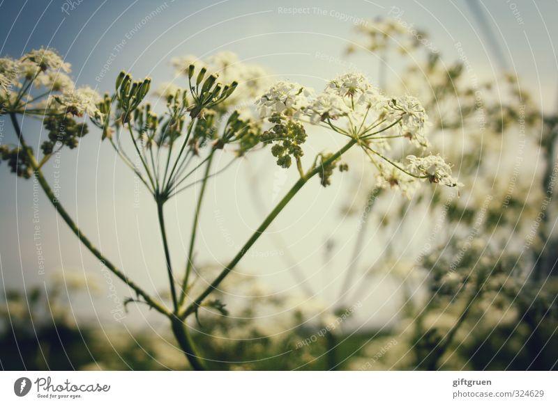 sparkling summer Pflanze Himmel Schönes Wetter Blume Blüte Wiese Blühend Gewöhnliche Schafgarbe Stauden Sommer Pflanzenteile Wachstum Wärme Farbfoto