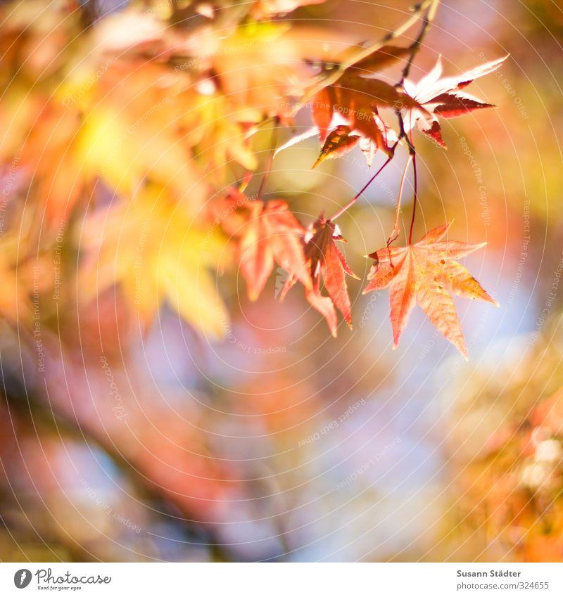 Herbst Sonne Blatt Fröhlichkeit mehrfarbig herbstlich Herbstfärbung Herbstbeginn Herbstwetter Stern Ahorn Außenaufnahme Tag Kontrast Sonnenlicht