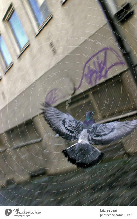 fliegende ratte Taube grau Hinterhof Durchgang trist Putz Wand Fenster Luftverkehr Flügel wings ratte der lüfte Pflastersteine