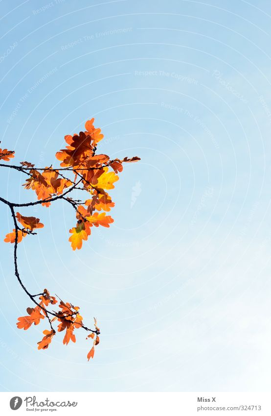 Herbst von links Wolkenloser Himmel Wetter Schönes Wetter Baum Blatt gold Vergänglichkeit Herbstlaub Eiche Eichenblatt Ast Zweig Herbstbeginn Herbstfärbung
