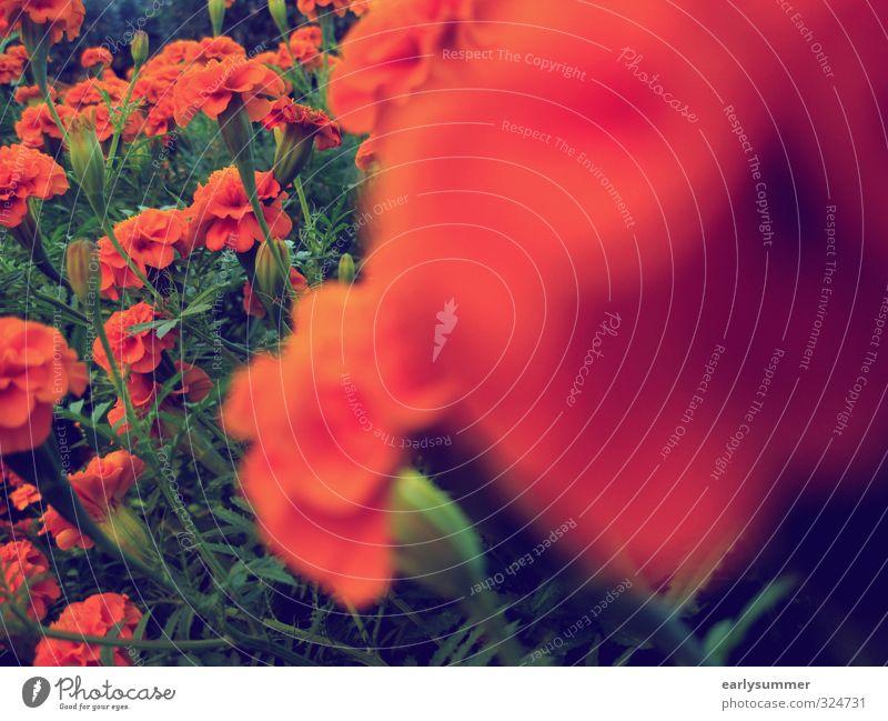 Rote Blümchen teilweise unscharf Blume rot Blumenwiese Tiefenschärfe Unschärfe grün Frühling Sommer Studentenblume Vintage-Stil wachsen gedeihen schön