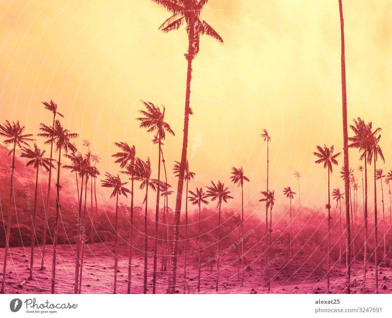 Palmenhintergrund mit Kopierraum auf gelb und starkem Rosa exotisch schön Ferien & Urlaub & Reisen Tourismus Sommer Sonne Strand Meer Insel Natur Landschaft