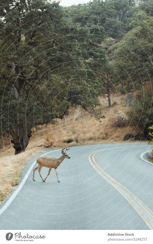 Kleine Hirsche kommen aus dem Wald und überqueren die Strasse Straße Überfahrt grün Sequoia-Park Tier natürlich Lebensraum Arten Pflanze Natur wenig Umwelt
