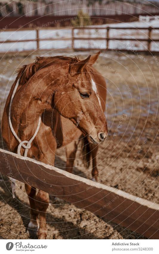 Braunes Pferd in Trense hinter Holzzaun Haustier Hengst Tier Pflege Natur Säugetier Zaumzeug Bauernhof Sattel Pferderücken Weide Feld braun Landschaft