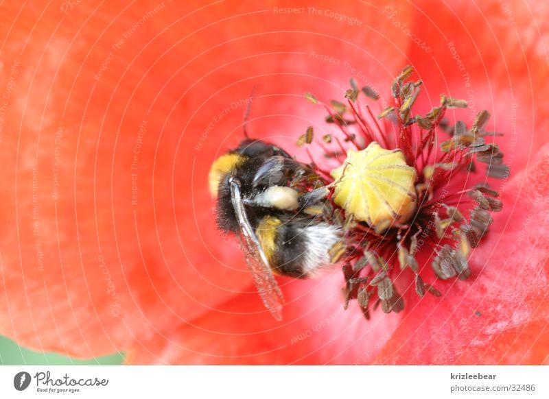 wie bei den blümchen und den bienchen Blume rot Blüte Mohn Hummel fleißig Fertilisation