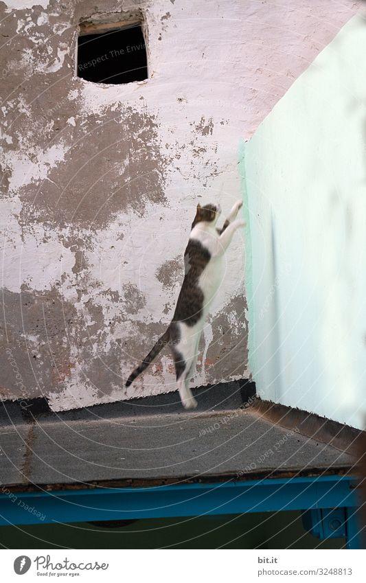 Weiße getigerte, streunende Katze springt bei der gefährlichen Jagd mutig von einem Dach, hoch auf eine Mauer, vor einer alten, kaputten Wand, in der Altstadt von Esscouira in Marokko.