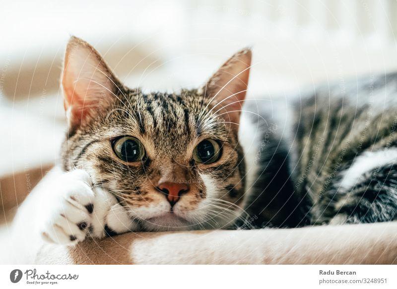 Süßes Katzenporträt zu Hause Auge gestreift seltsam Glück Bartansatz Kurzhaar Ausdruck Nahaufnahme lieblich Kopf Blick Miau Schnurrhaar Gesundheit Freude