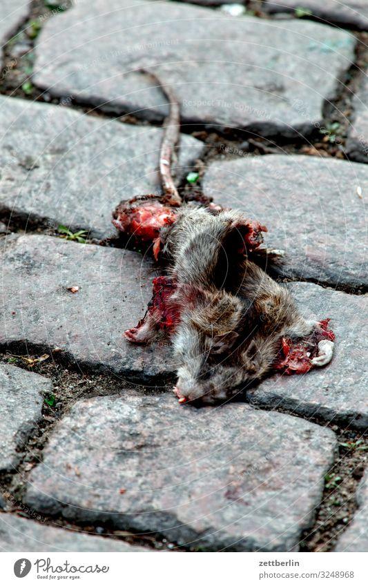 Tote Ratte Tier Straße Textfreiraum Tod Verkehr Kopfsteinpflaster Pflastersteine Nagetiere Straßenverkehr Schädlinge