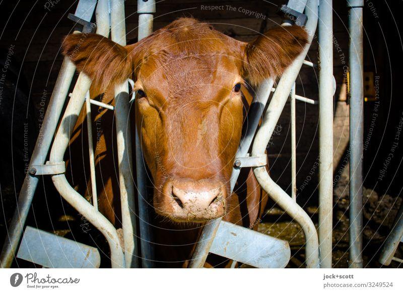 Kuhkomfort im Rahmen Landwirtschaft Forstwirtschaft Bauernhof Kuhstall Schönes Wetter Franken Nutztier Tiergesicht 1 Gitter Streifen Blick stehen authentisch
