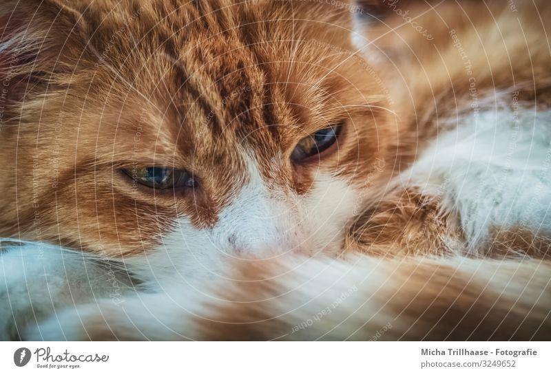 Schlummernde Katze auf der Couch Tier Haustier Tiergesicht Fell Kopf Auge Nase Schnurrhaar Schwanz 1 beobachten Erholung glänzend Blick schlafen nah natürlich
