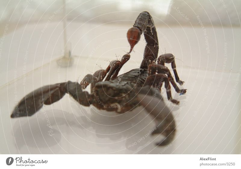 scorpio2 Insekt Gift Stachel Makroaufnahme